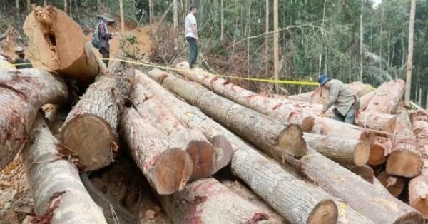 彭亨州森林局发动侦缉和收集有利证据行动,以将非法伐木幕后主脑缉拿归案。