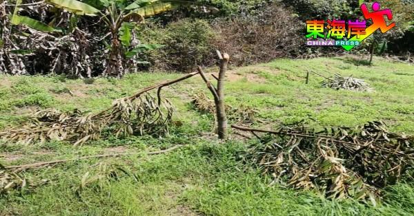 已种植5年的猫山王榴梿树,39天内二度被破坏,树枝被砍断。